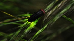 Assays using glowing luciferase from fireflies play a controversial role in PTC124's history.