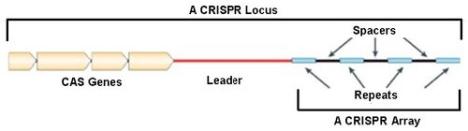 Image courtesy of http://schaechter.asmblog.org/schaechter/2011/04/six-questions-about-crisprs.html